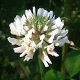 Dutch White Clover Guerrilla Droppings (Trifolium repens) - Seed-Balls.com  - 2