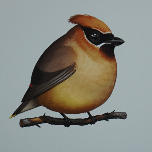 Fat Bird - 2016 Mike Mitchell Cedar Waxwing poster/print AP