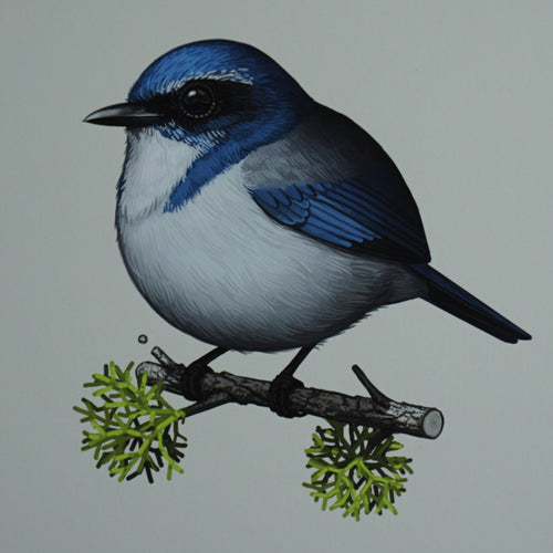 Fat Bird - 2016 Mike Mitchell Western Scrub Jay poster/print