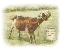 Claravale Jersey Cow