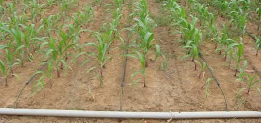 drip irrigation corn india