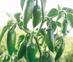 Spicy 20 (Upward type) Hot pepper (Syngenta) - Farmers Stop