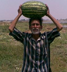 Girish/गिरीश Hybrid watermelon (Known You Seeds) - Farmers Stop