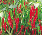 HPH-1048 Hot pepper (Syngenta) - Farmers Stop