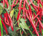 HPH-5531 Hot pepper (Syngenta) - Farmers Stop