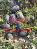 Unison F1 Icebox type Hybrid Watermelon (Konico Seeds) - Farmers Stop