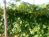 Rajat/रजत Ridge gourd (Known You) - Farmers Stop