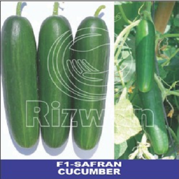 Polyhouse Cucumber F1-Safran (seedless) (Rizwan Seeds) - Farmers Stop