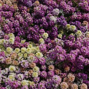 Easter Bonnet Mix Alyssum Flower Seeds (PanAmerican Seeds) - Farmers Stop