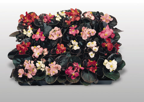 Cocktail® Mix Begonia semperflorens-Hybrids, Wax Begonia (Benary)
