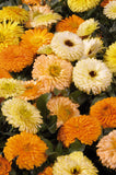 Bon Bon™ Mix English Marigold, Pot Marigold (Benary Seeds) - Farmers Stop