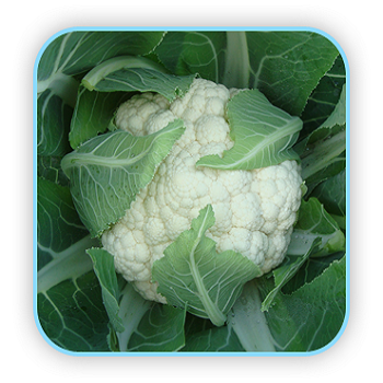 Anandi/आनंदी Hybrid Cauliflower (Sungro Seeds) - Farmers Stop
