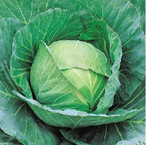 Cheers/चियर्स F1 Cabbage (Takii Seeds) - Farmers Stop