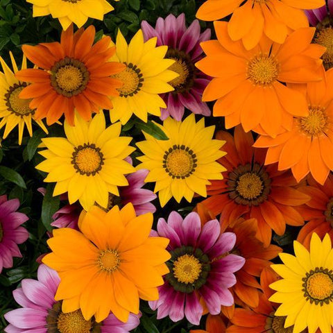 New Day Gazania
