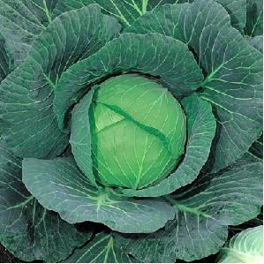 Green Coronet/ग्रीन करोनेट  F1 Cabbage (Takii Seeds) - Farmers Stop