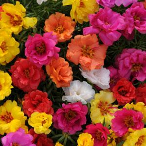Happy Hour™ Mixture Portulaca (PanAmerican)