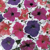 Frost™ Mix - Petunia ( Syngenta flowers)