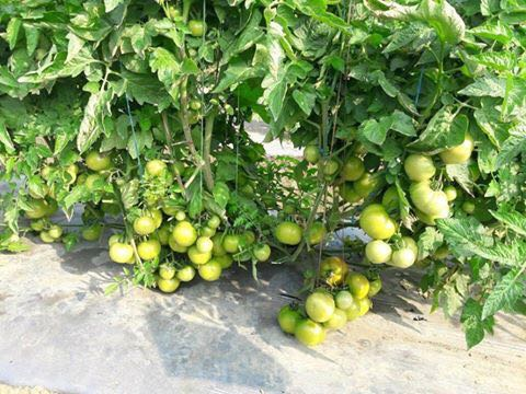 Laksh/लक्ष Hybrid Tomato (Known You Seeds) - Farmers Stop