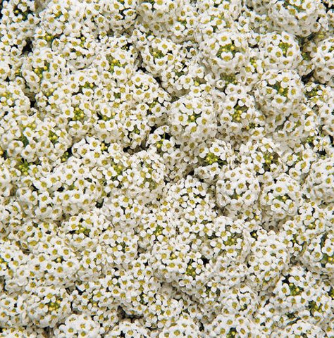 Wonderland® Alyssum Hybrid Imported (Benary Seeds)