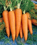 New Kuroda Hybrid Carrot (United genetics) - Farmers Stop