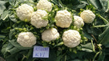 Ragini/रागिनी Hybrid Cauliflower (Known You Seeds) - Farmers Stop