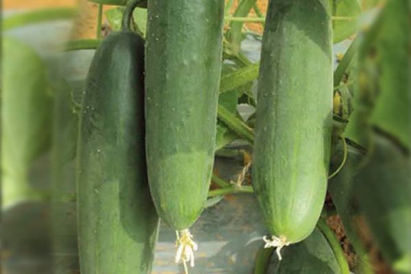 Rasika/रसिका Hybrid Cucumber (Known You Seeds) - Farmers Stop