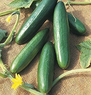 Ruchi/रूचि Hybrid Cucumber (Known You Seeds) - Farmers Stop