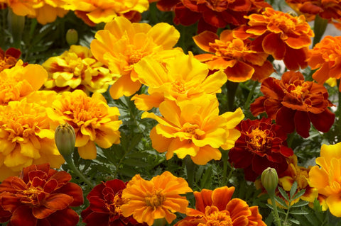 Safari F1 Hybrid French Marigold (Benary)