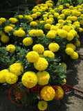 Taishan Improved F1 African Marigold (PanAmerican Seed) - Farmers Stop