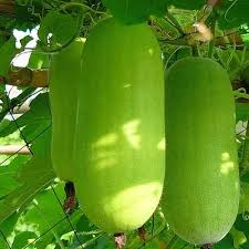 Greenie/ग्रीनिए  Wax Gourd (Known You Seeds) - Farmers Stop
