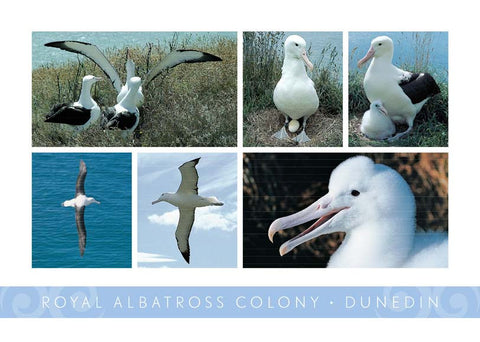PM6742 - Royal Albatross Colony