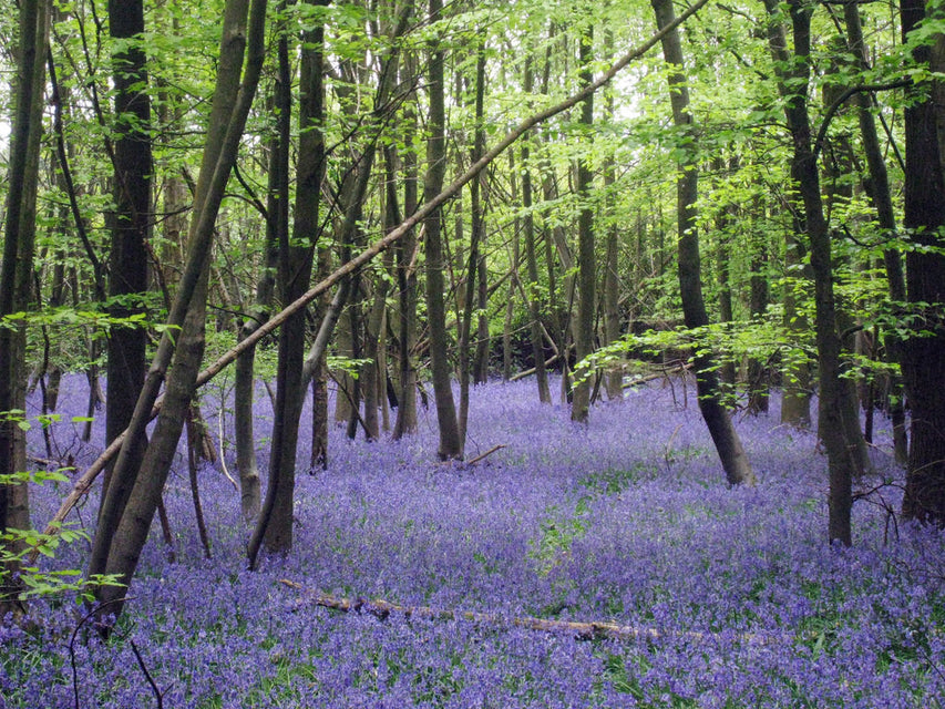 Carpets of bluebells !
