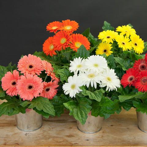 Potted Gerbera Plant