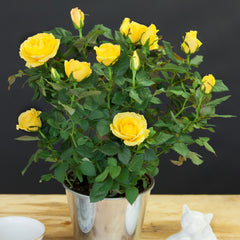 Yellow Pot Rose