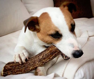 5 Reasons Why Antler Chews Are a Good Choice For Your Dog