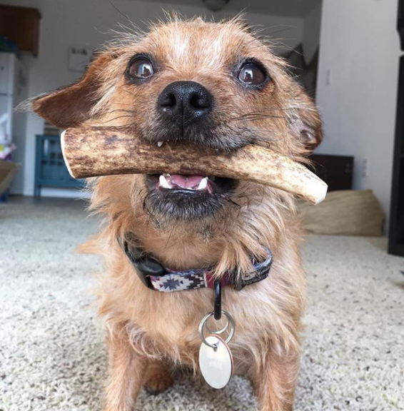 Small Whole - Elk Antler Dog Chew