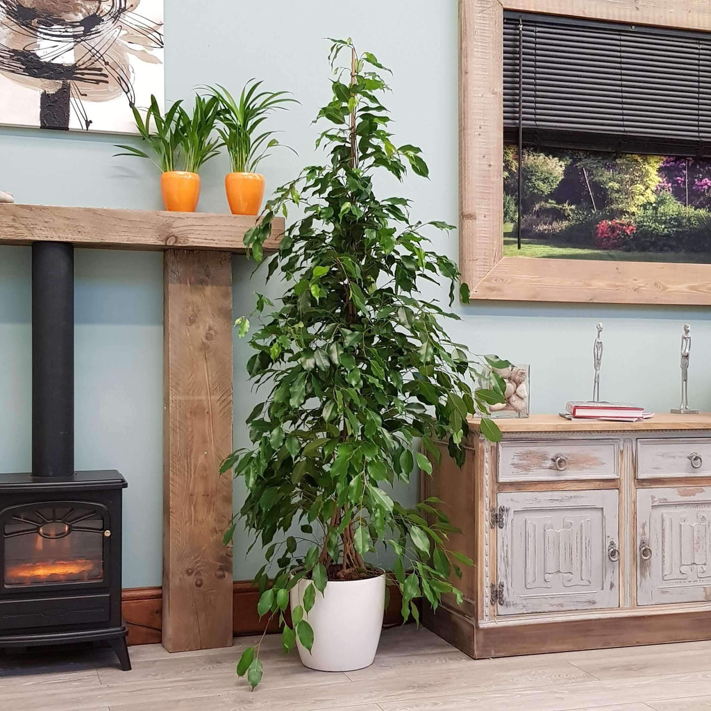 6ft Ficus Indoor House or Office Plant Inc Decorative Planter Choice