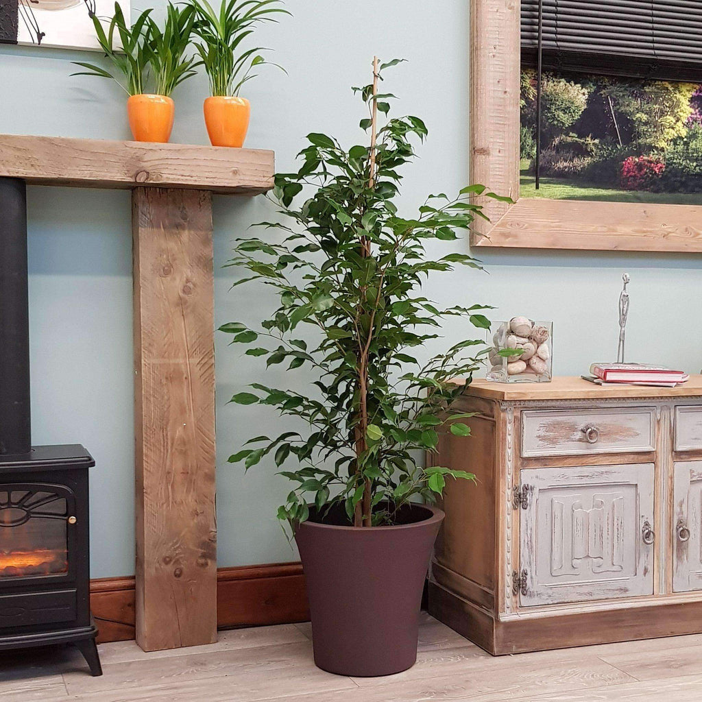 Indoor House Plant Large Ficus (Weeping Fig) - 1.4m Tall Complete with Decorative Planter