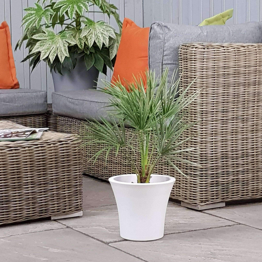 Palm Tree Chamaerops Humilis Planter Indoor or Outdoor (Complete with planter)