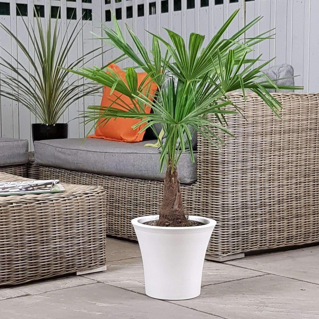Large Trachycarpus Fortunie Palm Tree 4ft+ Indoor or Outdoor  (Inc Decorative Planter)