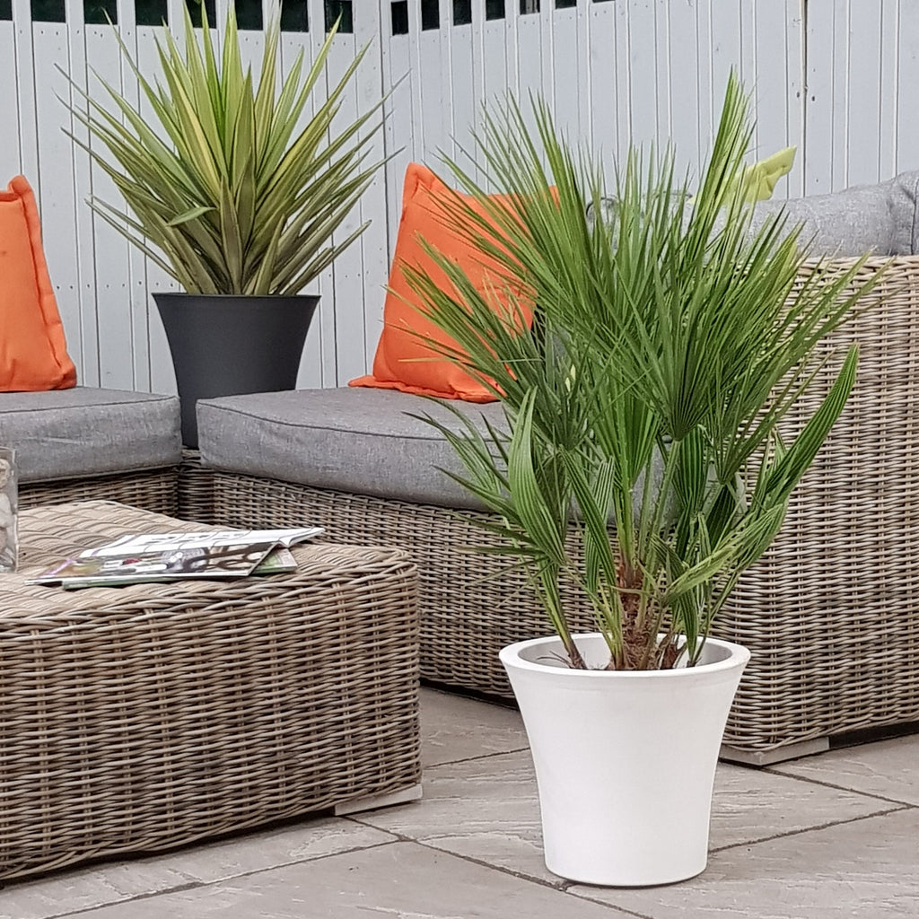 Chamaerops Humilis Palm - Indoor & Outdoor Easy Care, Super Stylish