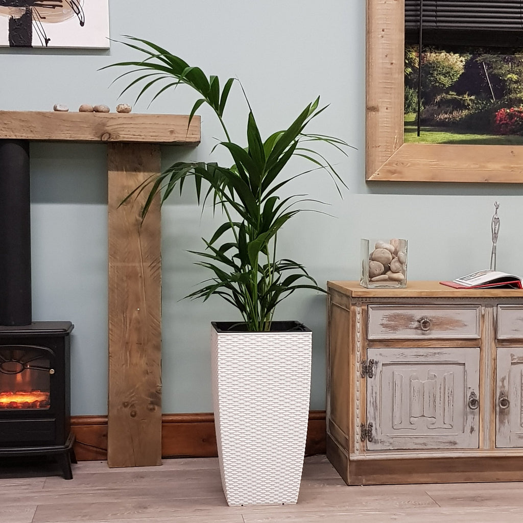 Large Kentia Indoor Palm Tree 3.5-4ft & Decorative Planter