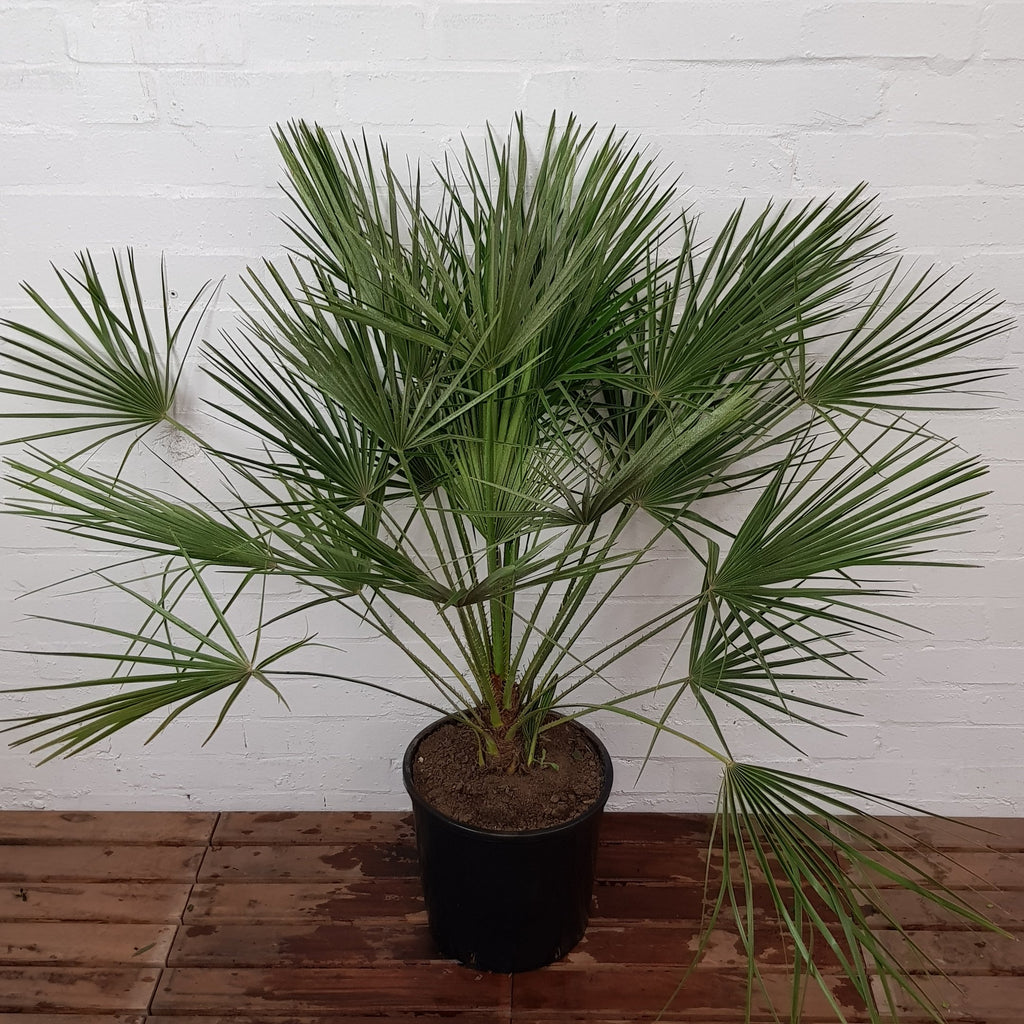 Palm Tree Chamaerops Humilis 4ft Hardy Tropical  - Landscapers Pro Quality - BB