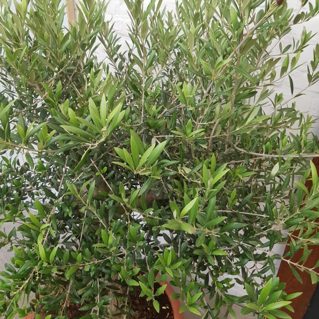 Olive Tree 25 Years Old Sicilian 4.5-5ft - Truly Beautiful