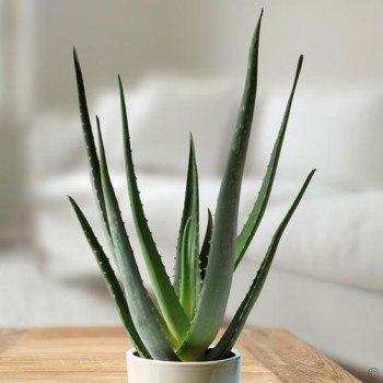 Aloe Vera - XL With Decorative Planter - Air Purifying