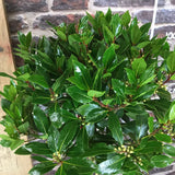 Two Large Bay Tree Laurus Nobilis - 1st Quality 1/2 Standard 4ft