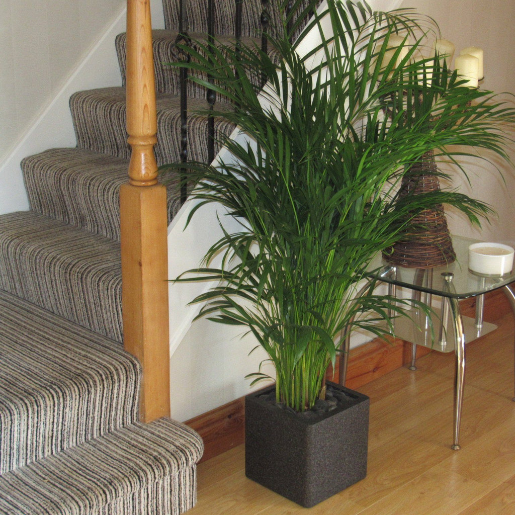 Buy Large Areca Palm Tree 1.20 -1.30m Beautiful Quality Indoor Plant With Choice Of FREE Planter (Complete)