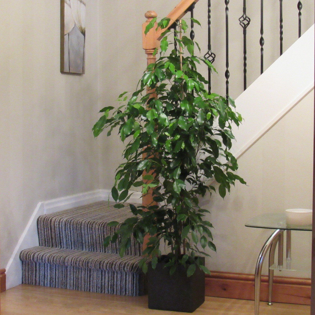 stunning house plants delivered. Large Stunning Ficus 1 4m Tall Indoor House Plant Inc Choice of Decorative  Planter Weeping