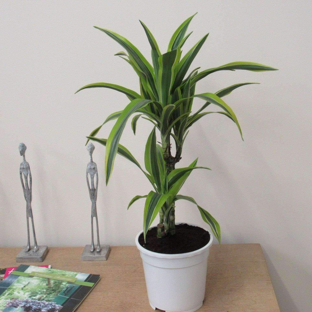 "Large Indoor Plants Dracena ""Massangeana"" Lemon & Lime Indoor 75cm"