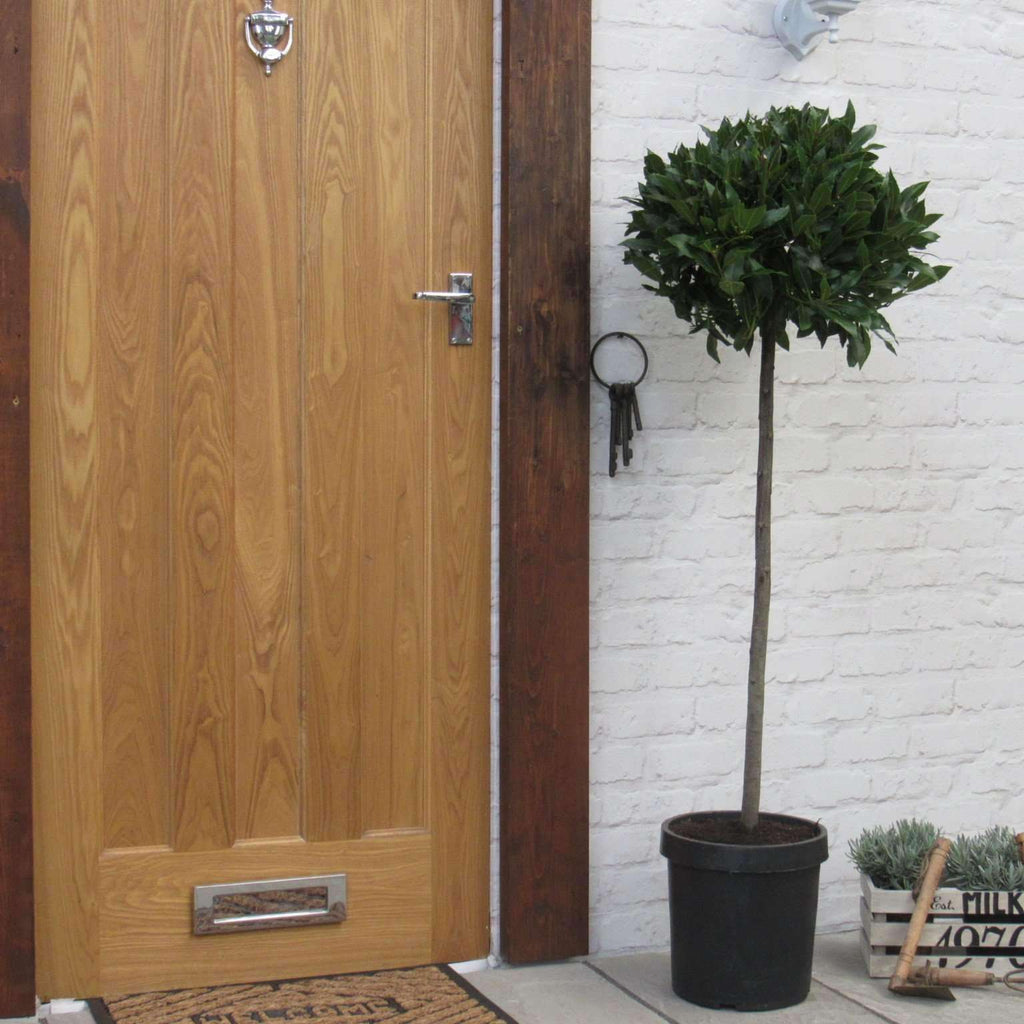 Large Bay Tree Laurus Nobilis - 1st Quality 3/4 Standard 5ft